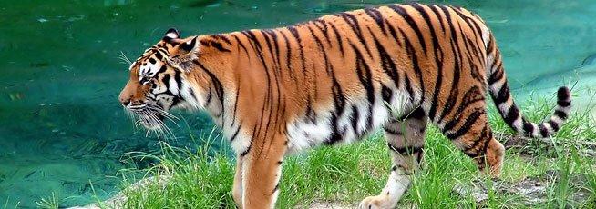 Pariyar Tiger