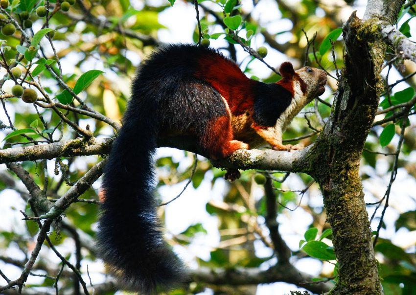 Malabar squirrel in Tholpetty Sanctuary