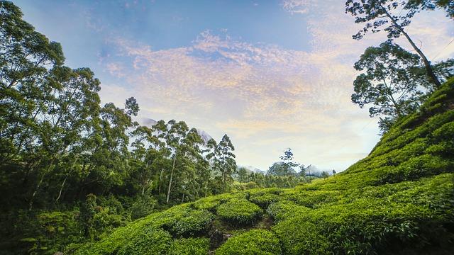 Tea garden munnar kerala