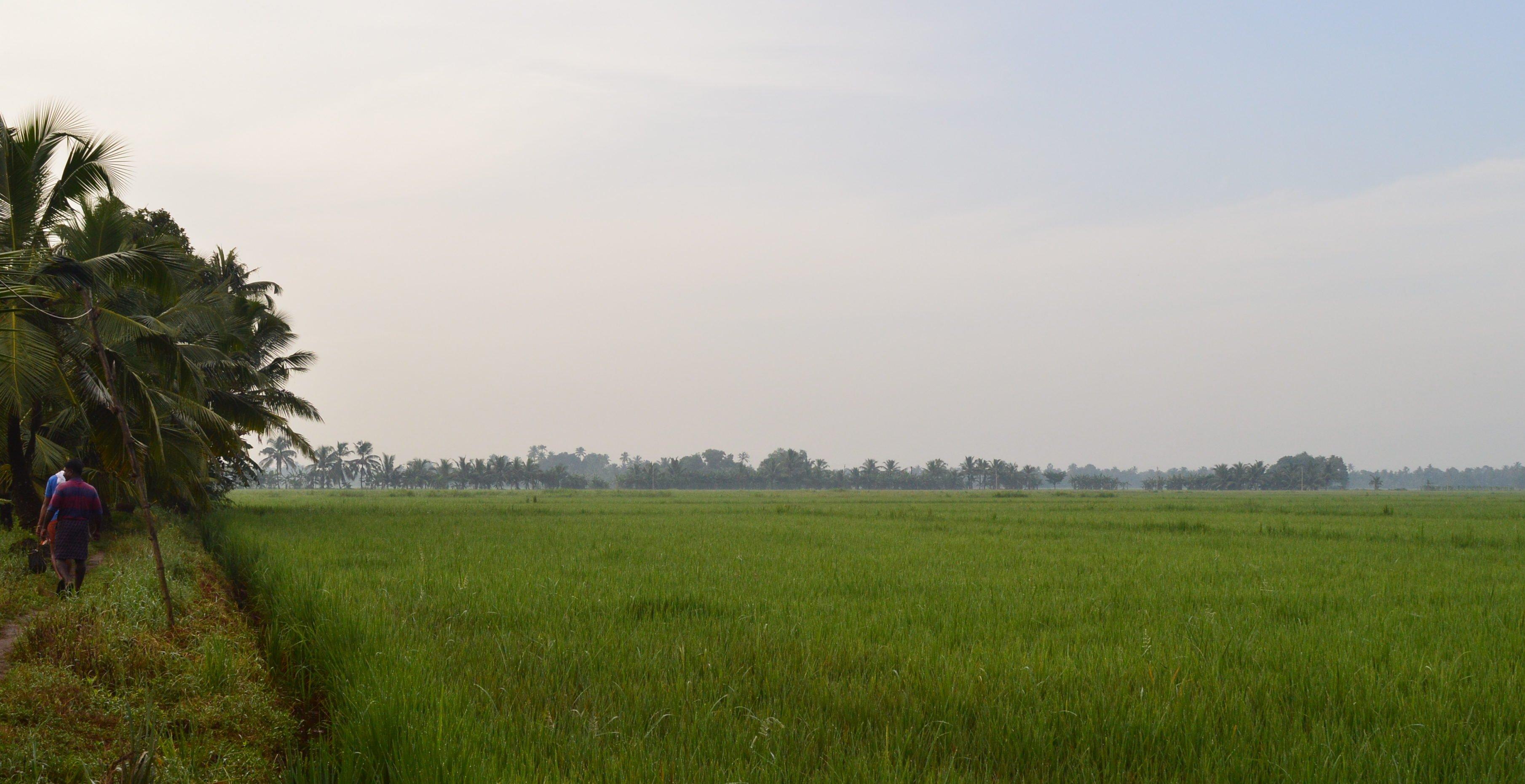 paddy field kumarakom