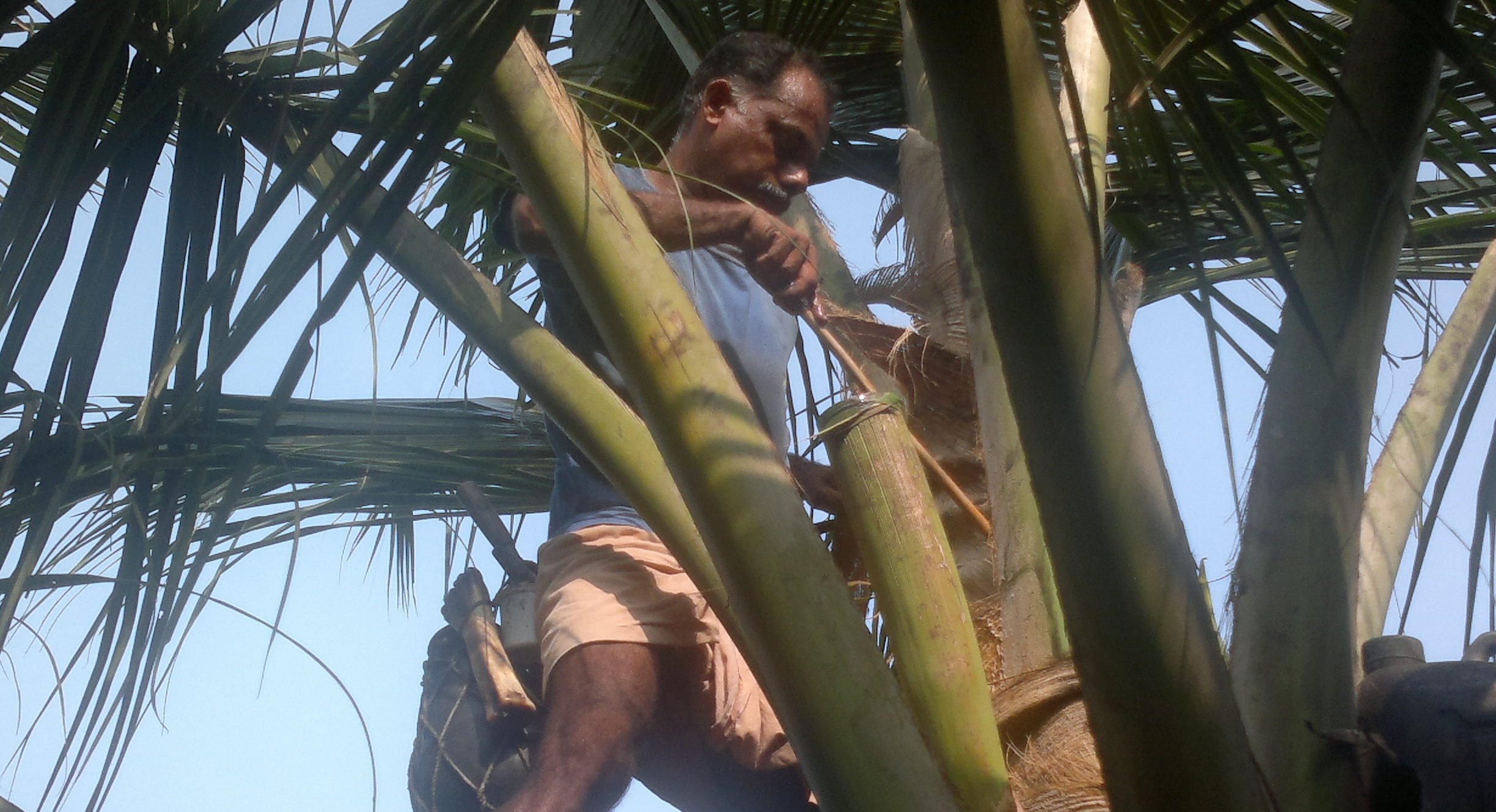 toddy tapping