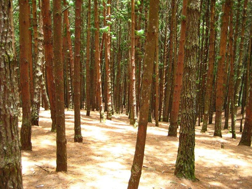 pine-forest-kodaikanal